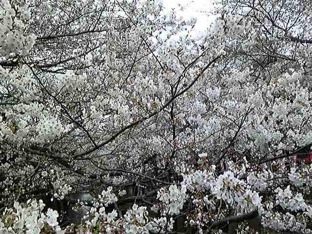 桜満開〜!