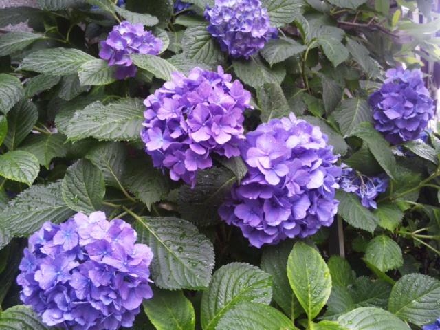 紫陽花綺麗!
