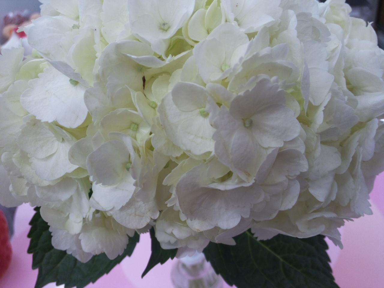 白紫陽花に癒される!